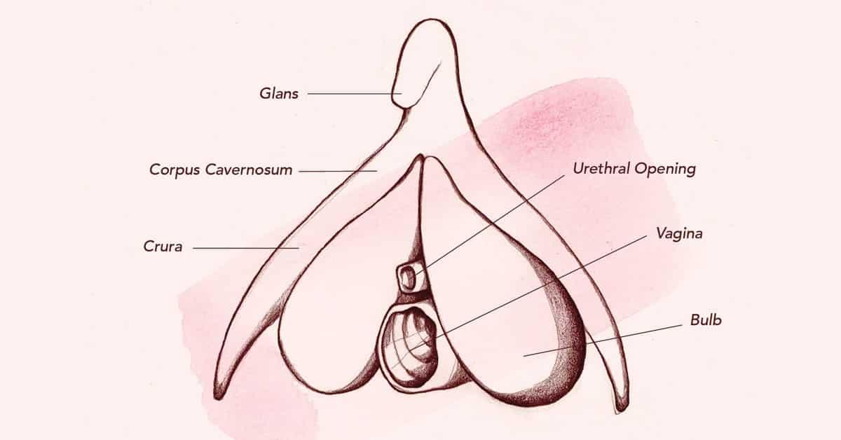 Schéma du clitoris complet