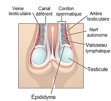 Comprendre la torsion testiculaire