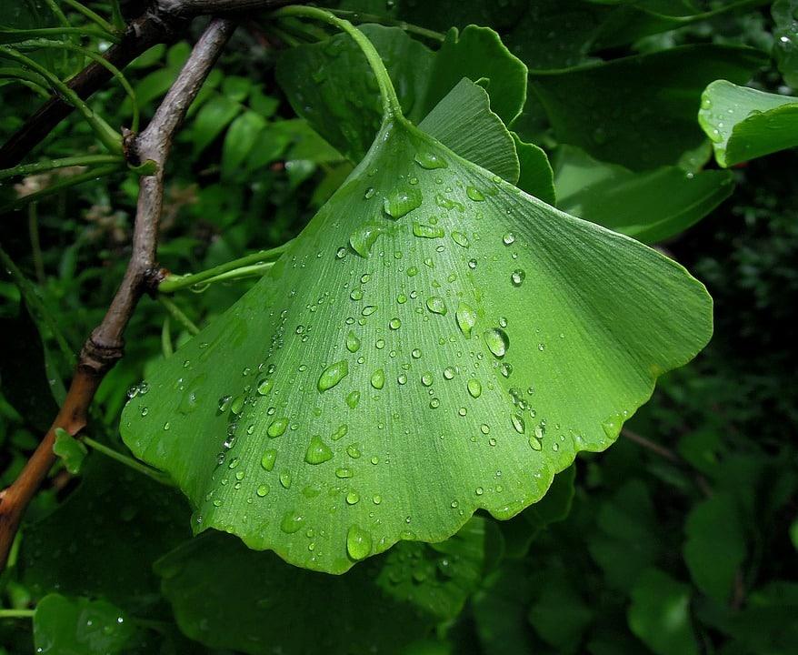 Le Ginkgo Biloba, un produit naturel aux vertus aphrodisiaques