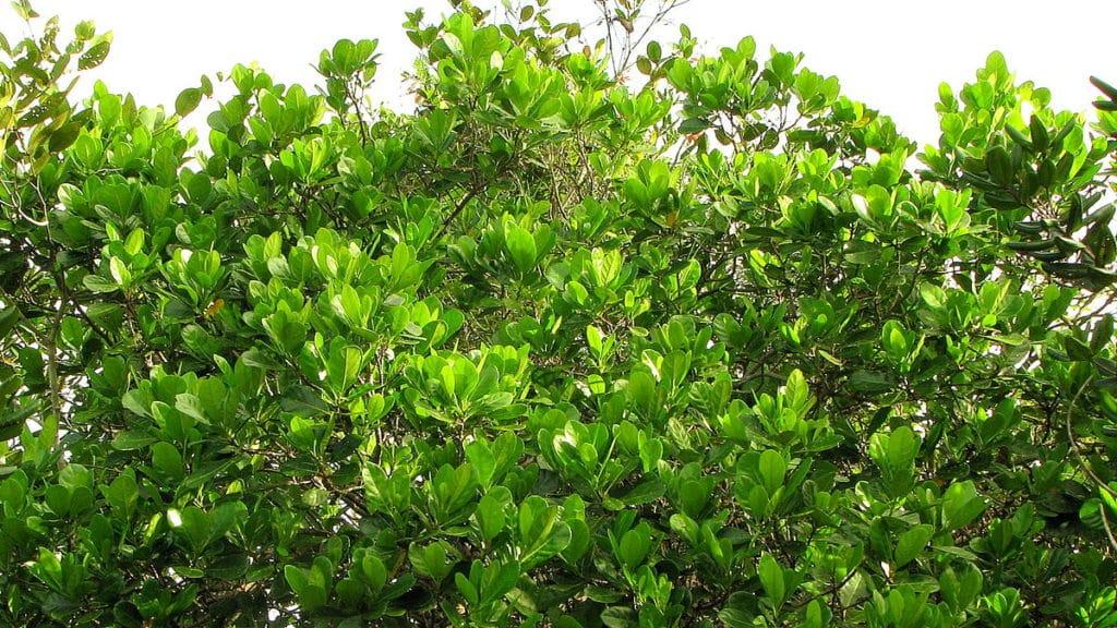 Le bois bandé est issue de l'écorce d'arbres tropicaux